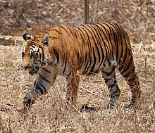 Bengal tiger - Wikipedia, the free encyclopedia