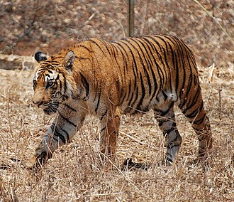 Conservation in India - The Bengal tiger, primarily found in India and Bangladesh, is an endangered species.