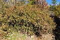 Berberis wilsoniae - Quarryhill Botanical Garden - DSC03667.JPG