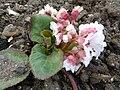 Bergenia ciliata (Haw.) Sternb. f. ligulata (Yeo) (Saxifragaceae) plant.jpg