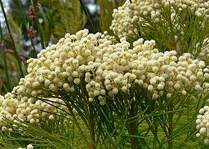 Bruniaceae - Berzelia lanuginosa