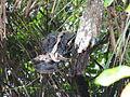 Better shot bound gator, NPS Photo (9099876509).jpg