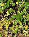 Betula davurica (Dahurian Birch) (38246409291).jpg