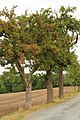 Bielatal, apple trees near Reichstein - saxony.jpg