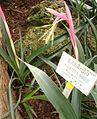 Billbergia nutans BotGardBln271207Z.jpg