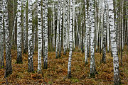 Birches near Novosibirsk in Autumn