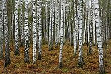 سياحة لدولة روسيا أكبر دولة في العالم 220px-Birches_near_N