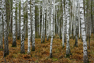 Geography of Russia - A birch forest in Novosibirsk. Birch is a national tree of Russia.