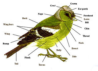 Glossary of bird terms - Topography of a typical passerine