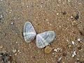 Bivalvia seashell at Bheemili beach.JPG