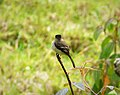 Black-capped Flycatcher Empidonax atriceps - Flickr - gailhampshire (1).jpg