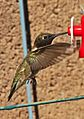 Black-chinned Hummingbird - Archilochus alexandri, Albuquerque, New Mexico - 7354041234.jpg