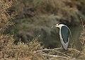 Black-crowned night heron - Kwak - Nycticorax nycticorax.jpg