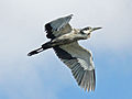 Black-headed Heron flying RWD.jpg