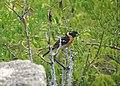 Black-headed grosbeak (14878702836).jpg