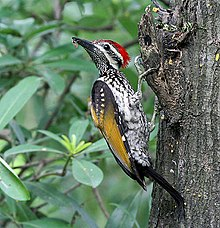 A Black Rumped Flameback Using Its Tail For Support Woodpeckers