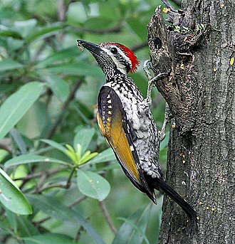 Woodpecker - A black-rumped flameback using its tail for support