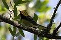 Black-throated Green Warbler (male) Smith Oaks High Island TX 2018-04-19 12-59-34 (27102666567).jpg
