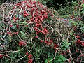 Black Bryony berries near stile on Footpath 1312 - geograph.org.uk - 258749.jpg