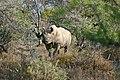 Black Rhinoceros (Diceros bicornis) (32197600963).jpg