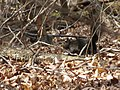Black Squirrel (3366700708).jpg