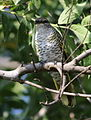 Black cuckooshrike, Campephaga flava, at Manavhela Ben Lavin Nature Reserve, Machado, Limpopo, South africa (26294657195).jpg