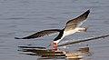 Black skimmer (Rynchops niger) in flight.jpg