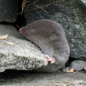 Northern short-tailed shrew - Image: Blarina brevicauda