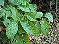 Blepharistemma serratum at Periya (3).jpg