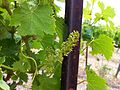 Bloom on Viognier at Red Willow.jpg