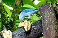 Blue-Grey Tanager. Thraupis episcopus - Flickr - gailhampshire.jpg