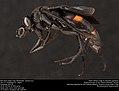 Blue-black spider wasp (Pompilidae, Anoplius sp.) (36073550471).jpg