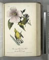 Blue-winged Yellow Swamp-Warbler. 1. Male. 2. Female. (Cotton Rose. Hibiscus grandiflorus.) (NYPL b13559627-108369).tiff
