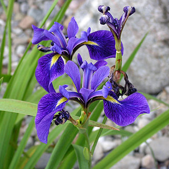 Iris versicolor - Image: Blue Flag, Ottawa