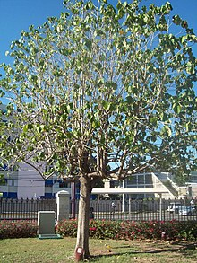 Blue Mahoe Tree.JPG
