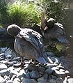 Blue ducks preening.JPG