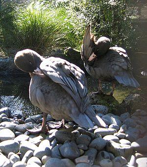 Blue duck - Blue ducks preening