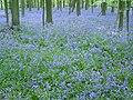 Bluebells, Brick Kiln Copse, Tunworth - geograph.org.uk - 169902.jpg