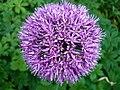 Bluetenball lila.JPG