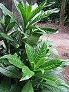 Blumea lanceolaria