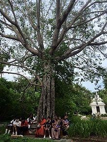 Bodhi Tree - Wikipedia