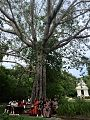 Bodhi tree in Theosophical Society.jpg