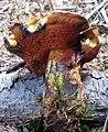 Boletus erythropus.JPG