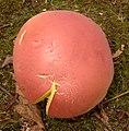 Boletus pallidoroseus Both 245634.jpg
