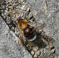 Bombus hypnorum. Male - Flickr - gailhampshire.jpg