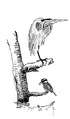 Bonte ijsvogel Ceryle rudis met purperreiger Jos Zwarts 3.tif
