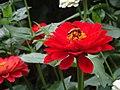 Botanical Garden's red flowers in Ooty.jpj.jpg