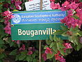Bougainvillea from lalbagh 2188.JPG