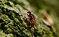 Brachyopa sp. (most probably B. scutellaris), Parc de Woluwé, Brussels (26292588463).jpg