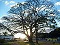 Brasilia DF Brasil - Paineira Tombada, em frente ao TJDFT - panoramio.jpg